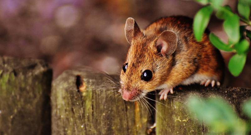 Mäuse (Hausmaus)
