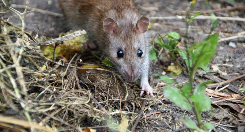 Ratten (Hausratte)